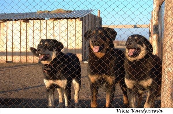 Собачки у Иволгинского дацана
