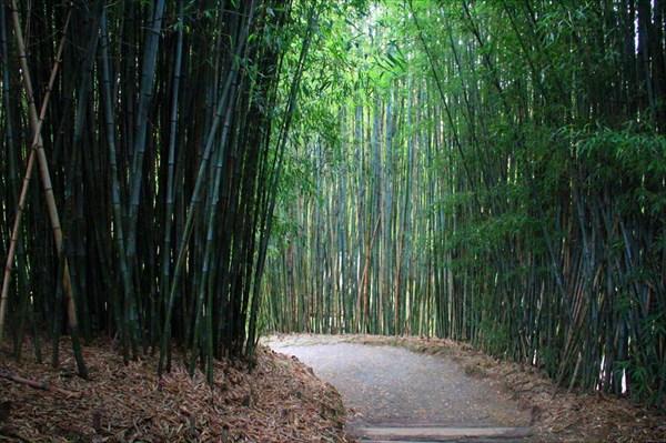 Обязательное растение для китайского сада – бамбук
