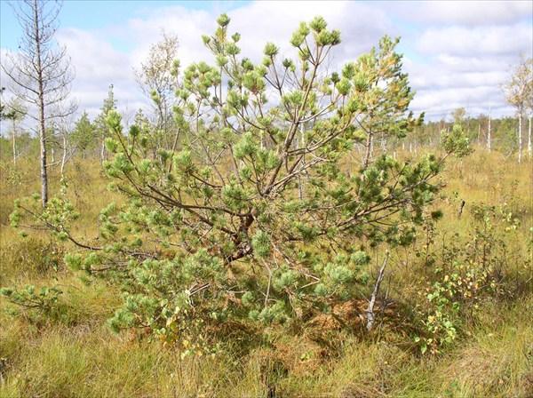 дерево на болоте