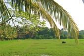 Рисовое поле. (январь).ЮГ ГОА