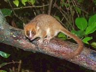 мышиный лемур (фото с Викепедии)