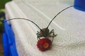 Жук любит ягоды