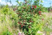 Бузина красная и полевые цветы