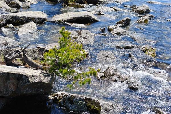 Кристальность воды и молоденький кедр