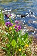Прибрежные цветы