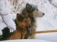 Ездовые собаки