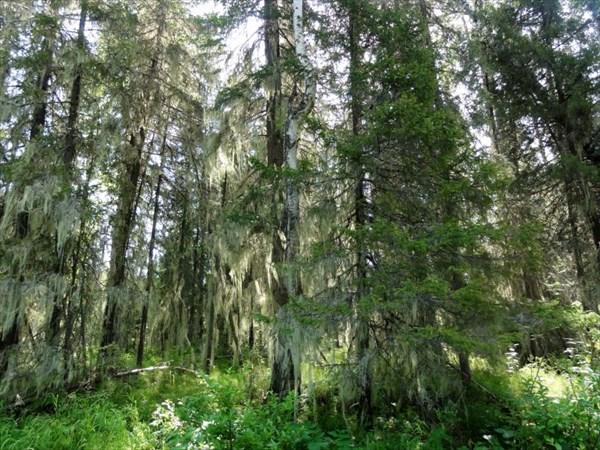 Лесные занавески.