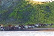 Стадо оленей на берегу Карского моря.