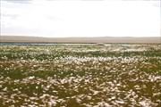 Пушистое болото