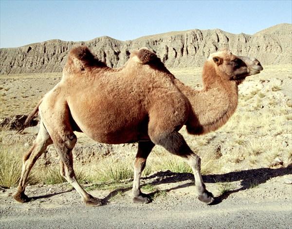 Верблюды в Дунхуа