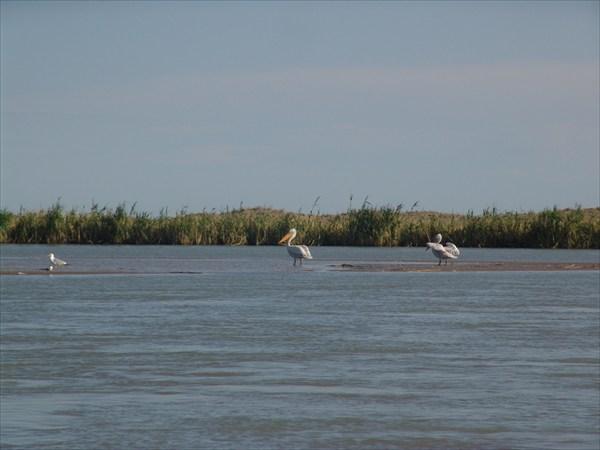 Пеликаны на отмели