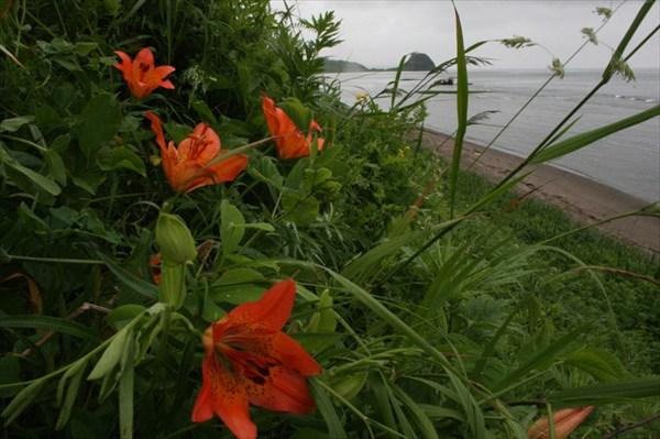 Лилии на Сахалине