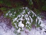 первый снег на елках