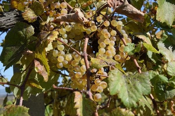 Золотистые грозди