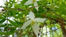 Цветущая лиана в долине Жомболока