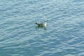 Байкальская чайка