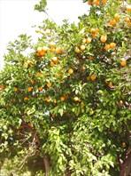 Турция - апельсиновый рай.