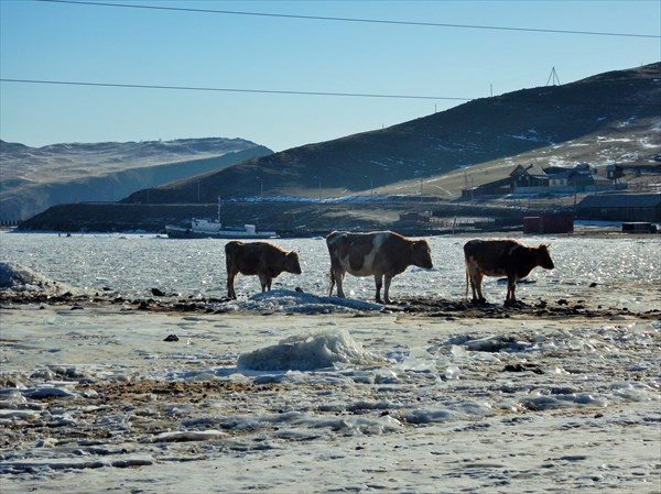 Коровы на льду