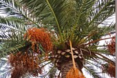 Пальмовые плоды.