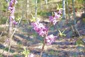 Жимолость цветет