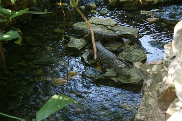 Крокодилы Мексики