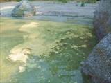 Пыльца хвойных на воде
