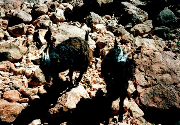 Сокотрийские козы