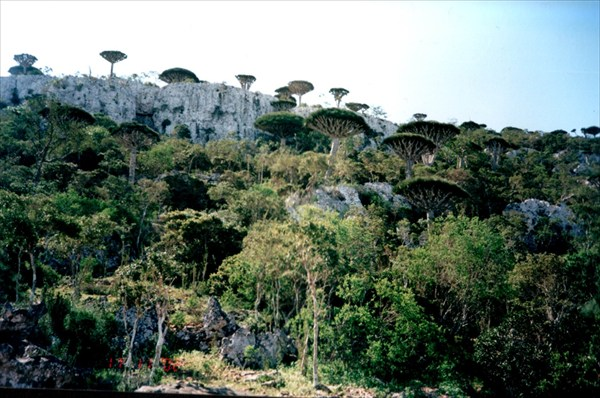 Сокотрийский лес